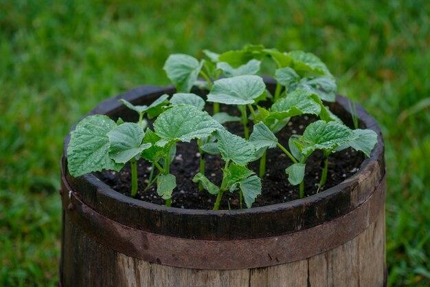 Komkommers groeien in een vintage houten vat