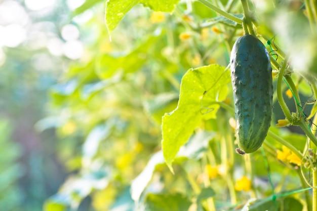 Komkommers in een tuin in dorp. gesel van komkommers op het rooster. bed van komkommers in de open lucht.