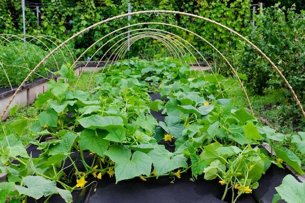 Komkommers kweken met stoffen onkruidbescherming.