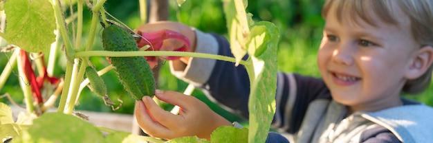 Komkommers plukken in de herfst. komkommer in de handen van een kleine jongen die oogst