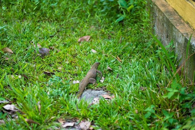 Komodo hagedis wandelingen op het gazon in het park