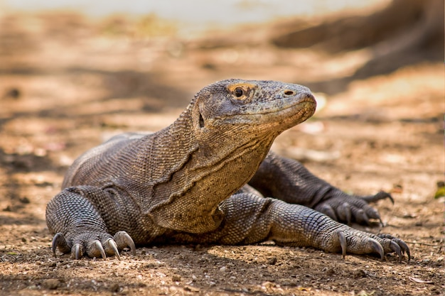 Komodovaraan close-up