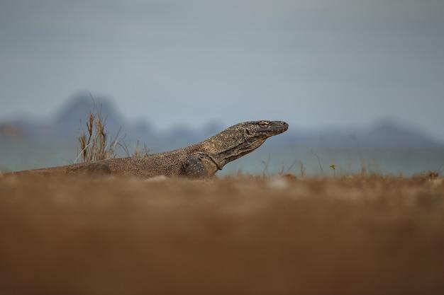 Komodovaraan in de prachtige natuurhabitat op het beroemde eiland in indonesië