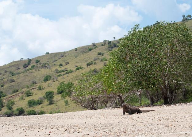 Komodovaraan in komodo national park, flores, indonesië