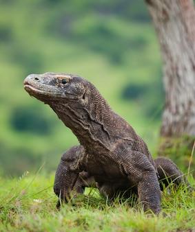 Komodovaraan is op de grond. indonesië. komodo nationaal park.