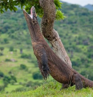 Komodovaraan staat rechtop op hun achterpoten. indonesië. komodo nationaal park.