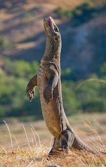 Komodovaraan staat rechtop op hun achterpoten.