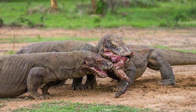 Komodovaranen eten hun prooi op. indonesië. komodo nationaal park.