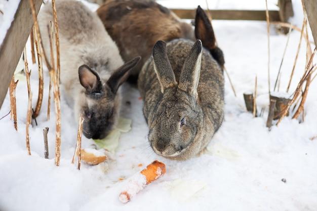 Konijn, dier, zoogdier, sneeuw, schattig, haas, vacht, winter, eekhoorn, natuur, huisdier, wild, bruin, wildlife, knaagdier, pluizig, wit, farm, eten, oren, konijnen, huisdieren, dorp