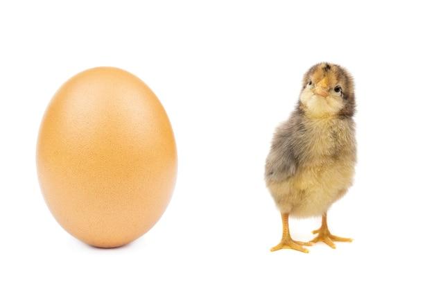 Konijn kip ei witte achtergrond