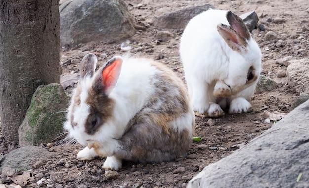 Konijn met lange oren lijdt aan huidziekte. ringwormziekte door infectie en ontsteking.
