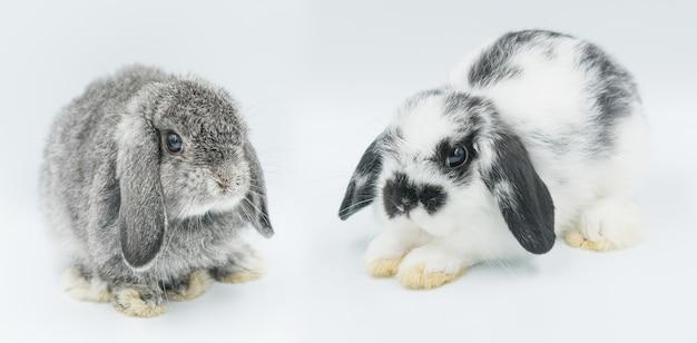 Konijn op witte achtergrond, bunny pet, holland hangoor