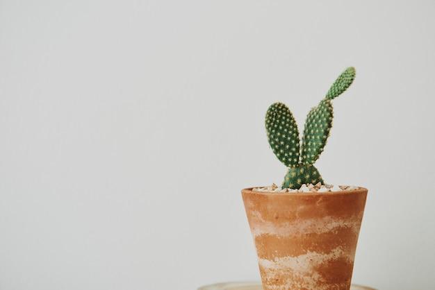 Konijnenoorcactus in een terracotta pot met patina