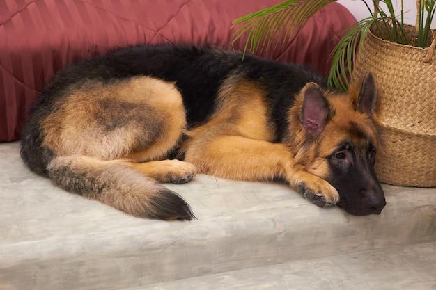 Koning duitse herder pup slapen op koude vloer in de buurt van bed