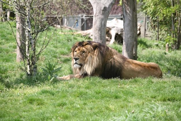 Koning van de jungle leeuw