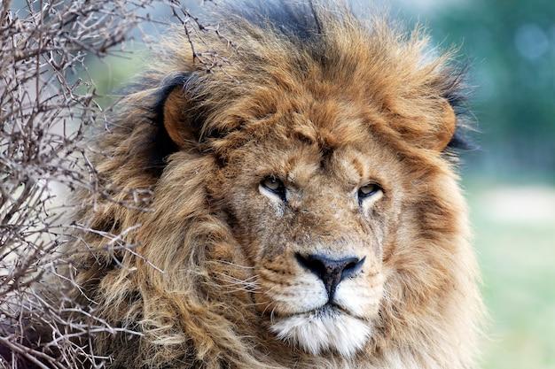 Koning van de jungle