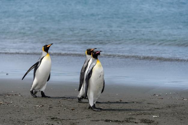 Koningspinguïnen op het eiland zuid-georgië