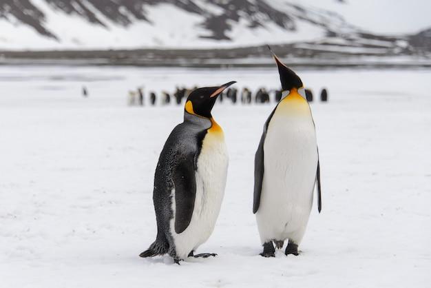 Koningspinguïns in antartica