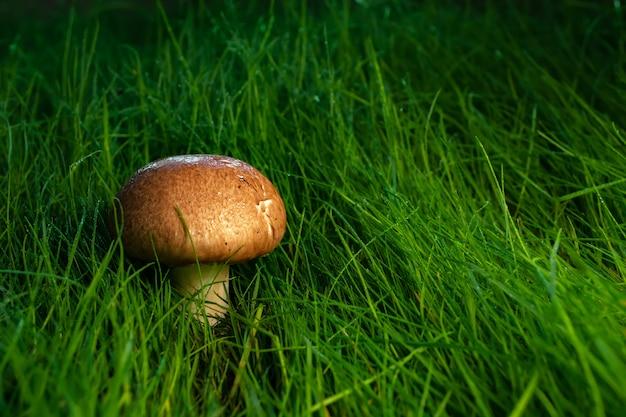 Koninklijke champignons bij zonsondergang in het gras