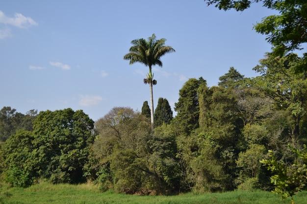 Koninklijke palm die in het midden van het bos op een de zomer zonnige dag duidelijk uitkomt