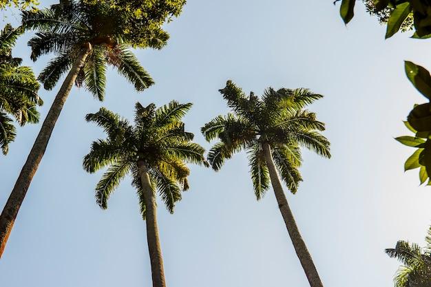 Koninklijke palmboom erg populair in brazilië