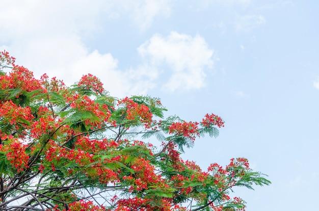 Koninklijke poinciana boom