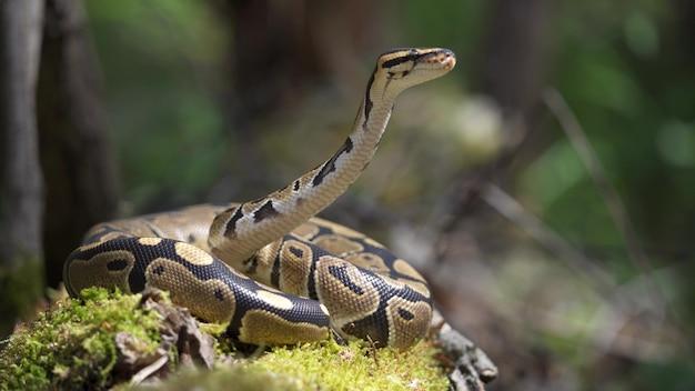 Koninklijke python of python regius op houten winkelhaak. de slang ligt op het mos in het bos, heft zijn kop op. detailopname