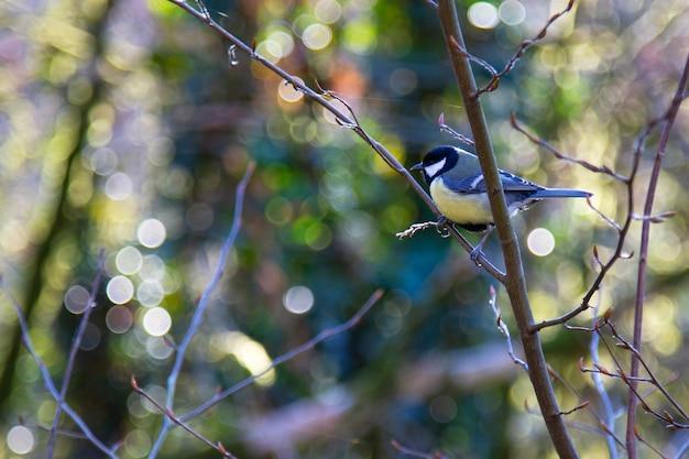 Koolmees parus major een kleine vogel met een gele borst op een boomtak close-up, lente,