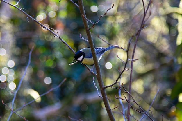 Koolmees parus major een kleine vogel met een gele borst op een boomtak, lente