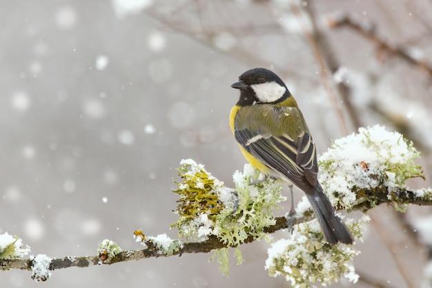 Koolmees, parus major, zittend op een tak met mos tijdens een sneeuwval