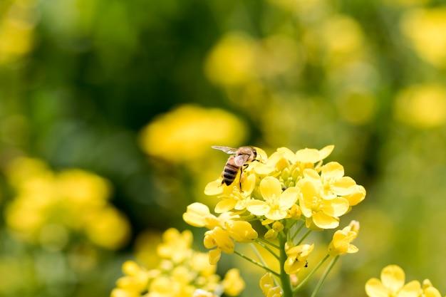 Koolzaad bloemen op het veld bloeit in het voorjaar