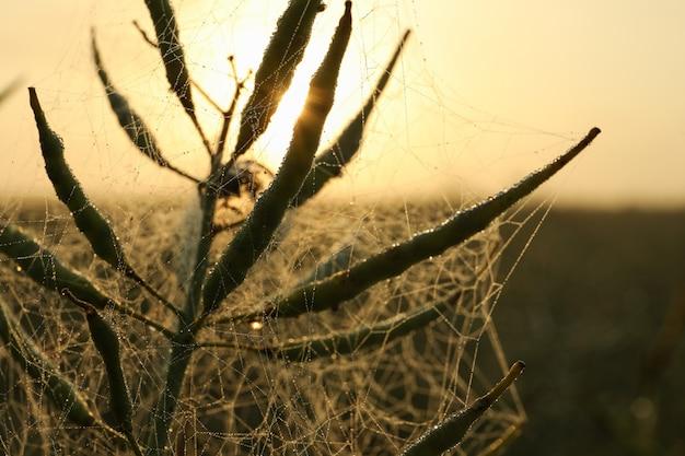 Koolzaad veld met dauw. mooie zomerochtend