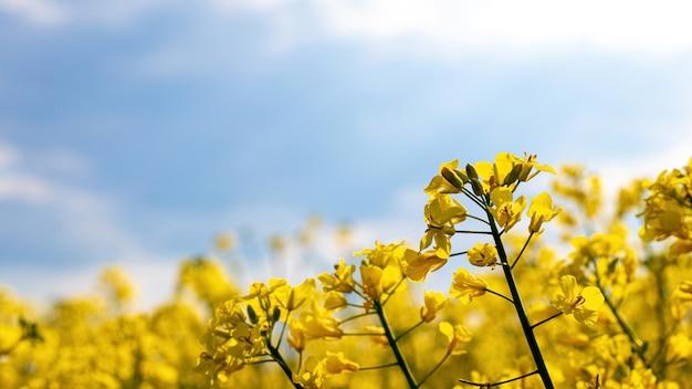 Koolzaad veld met gele bloemen op sky
