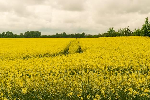 Koolzaadveld, canola-landschap, gele oliezaadbloesems