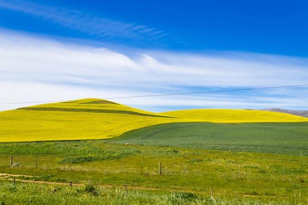 Koolzaadvelden langs de weg van karoo naar franschhoek, zuid-afrika. gele velden achtergrond