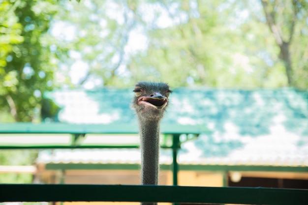 Kop van een struisvogelvogel de struisvogel kijkt met open mond de achtergrond is wazig