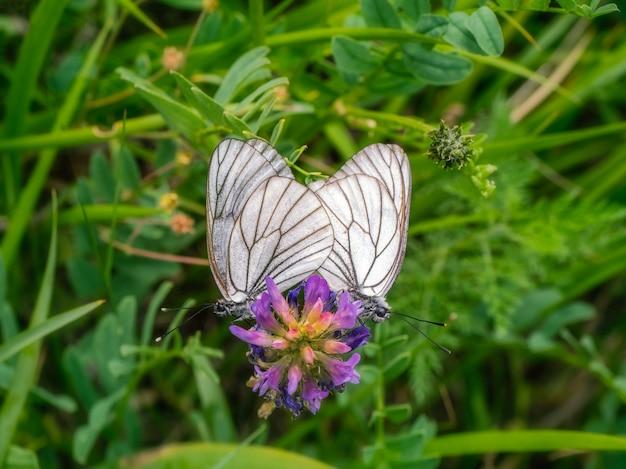 Koperen witte doornvlinders koppelen macro. twee vlinders in de liefdesdaad.