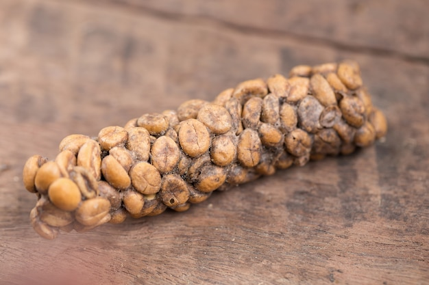 Kopi luwak of civet coffee, koffiebonen uitgescheiden door de civet