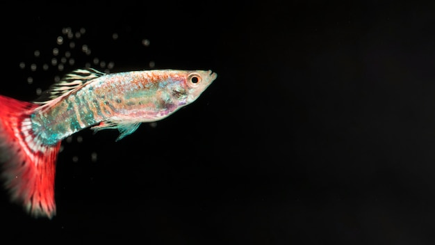 Kopieer zwarte ruimte met dumbo betta splendens vechtende vis