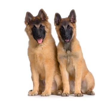 Koppel van twee puppy belgian tervuren