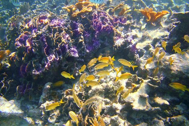 Koraal caribisch rif mayan riviera grunt vis