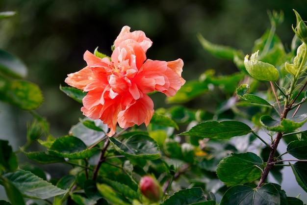 Koraal roze hibiscus of chinese roos bloem op natuurlijke groene bladeren achtergrond.