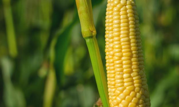 Korenaar in een maïsveld in de zomer vóór de oogst.