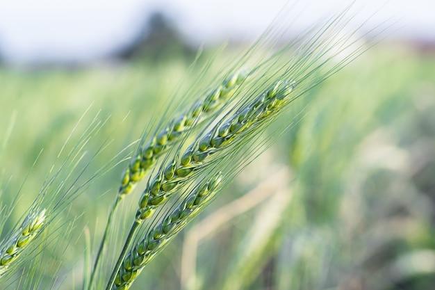 Korenaar in het veld. gerstekorrelharde granen met grove borstelharen die uit de oren steken, voornamelijk voor gebruik bij het brouwen en voor meel