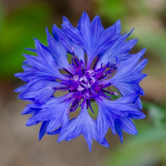 Korenbloem. enig marineblauw bloemblad
