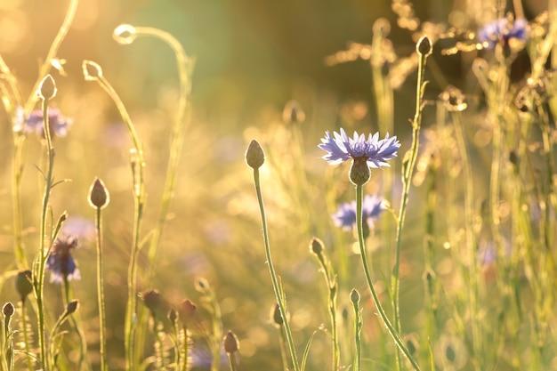 Korenbloemen in het veld bij zonsopgang