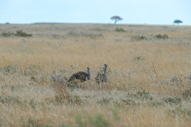 Kori trap wandelen in de graslanden van etosha in namibië
