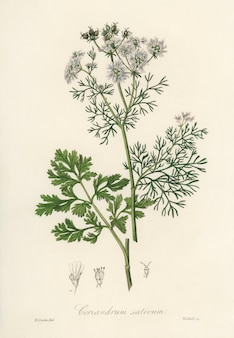 Koriander (coriandrum sativum) illustratie van medical botany (1836)