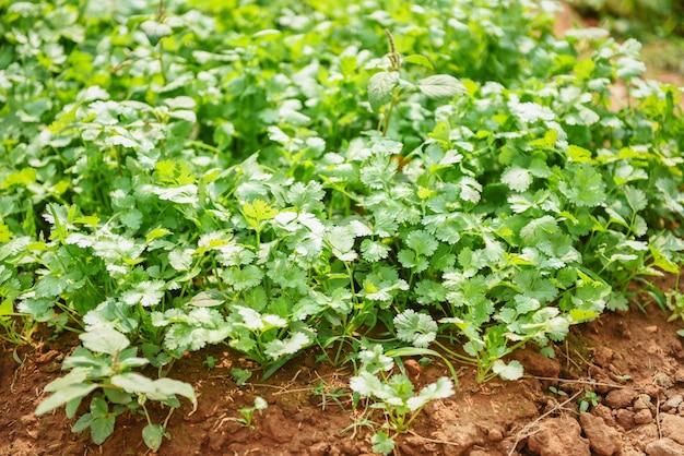 Koriander die moestuin planten op grond in het plantaardige organische landbouwbedrijf