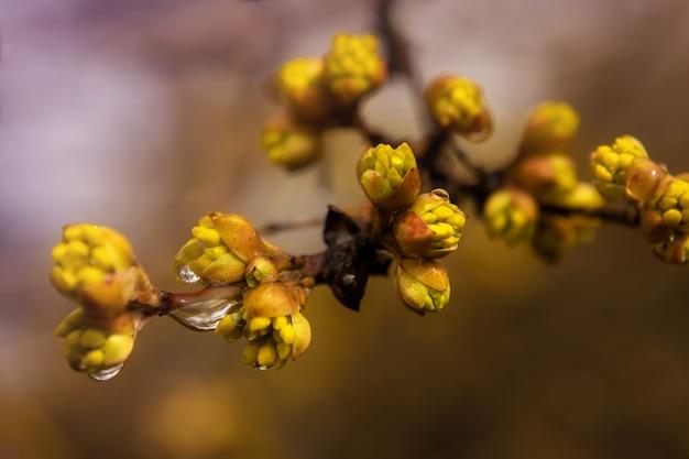 Kornoeljetak met gele delicate bloeiende bloemen